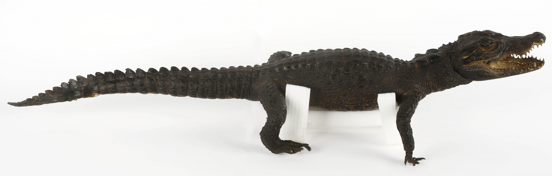 fig 15. When the reptile was stuffed, its skin was removed in one piece. Wood-shavings had been used for stuffing and the tough scaled skin had been lacquered.