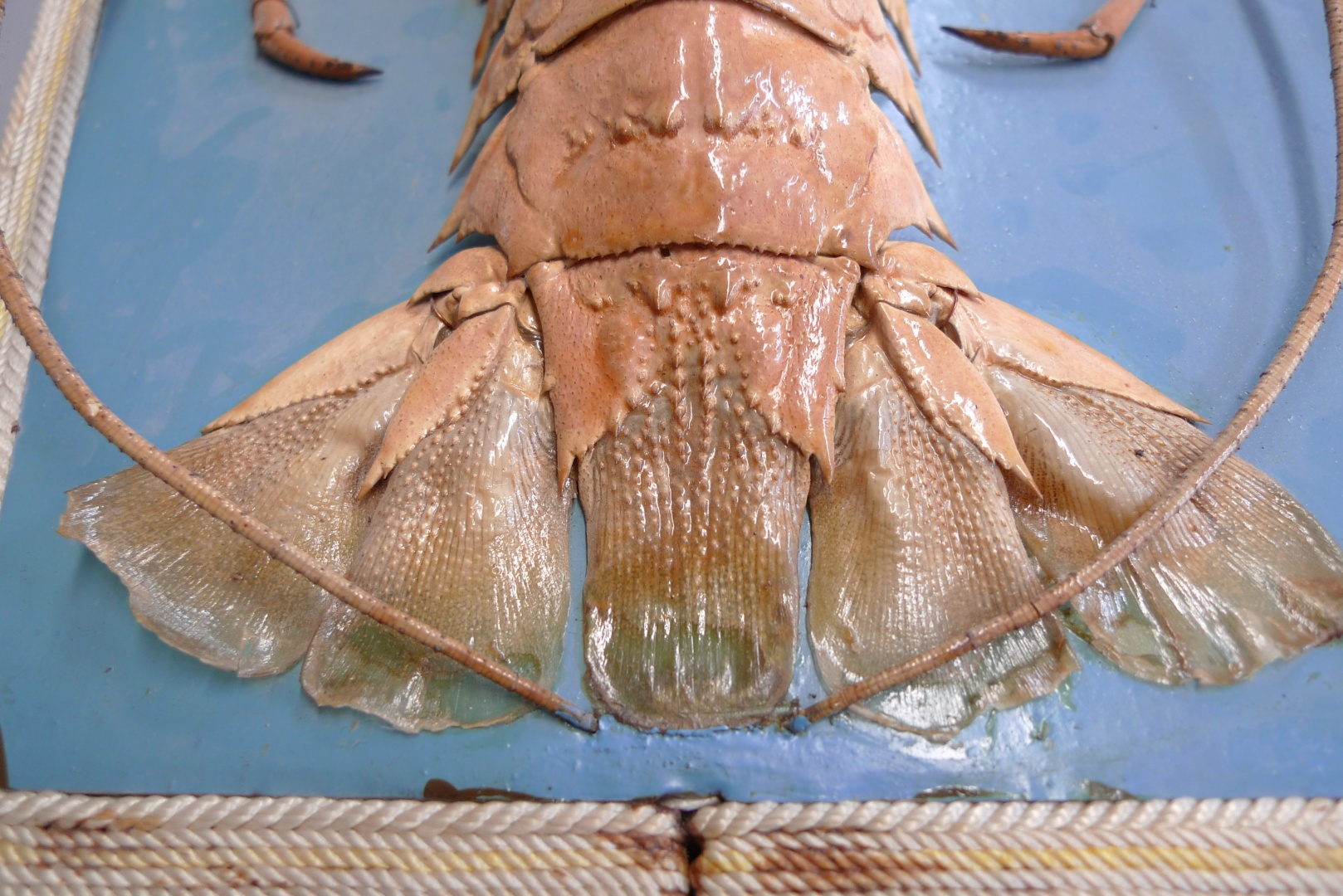 fig 36. When old glue was removed the edge of the tail fin was torn.